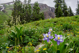 Columbine and Wildflowers in Colorado Mountain Basin Photographic Print by kvd design