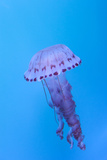 Purple Striped Jellyfish, Chrysaora Colorata Photographic Print by  steffstarr