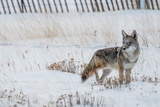 Coyote Winter Hunt Reproduction photographique par  duallogic