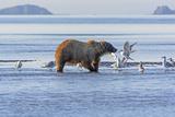 Bear and the Gulls Photographic Print by  wildnerdpix