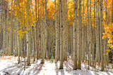 Colorful Aspen Trees in Snow at Kebler Pass Colorado Photographic Print by  SNEHITDESIGN