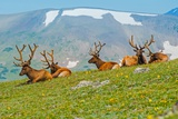 Gang of Elks in Colorado Reproduction photographique par  duallogic