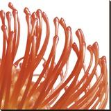 Orange Protea 5 (detail) Stretched Canvas Print by Jenny Kraft