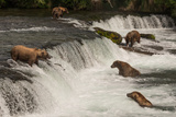 Five Bears Salmon Fishing at Brooks Falls Photographic Print by Nick Dale