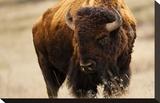Montana Bison Impressão em tela esticada por Jason Savage