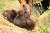 Brown Bear Cub Nuzzling Another beside Tree Photographic Print by Nick Dale