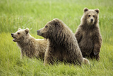 Grizzly Bears Photographic Print by Photos by Miller