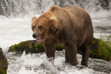 Brown Bear Yawns beside Green Mossy Rock Photographic Print by Nick Dale