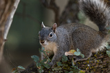 Silver - Gray Squirrel Photographic Print by  wollertz