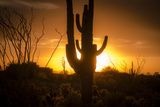 Arizona Landscape, Sunset Saguaro in Silhouette over Desert. Photographic Print by  BCFC