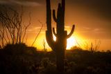 Arizona Landscape, Sunset Saguaro in Silhouette over Desert. Lámina fotográfica por  BCFC
