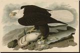 White-Headed Eagle Stretched Canvas Print by John James Audubon