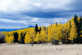Aspen and Pines Photographic Print by Peter Milota Jr