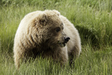 Grizzly Bear Photographic Print by Photos by Miller