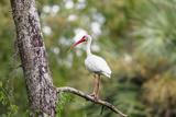 White Ibis Photographic Print by  PETERLAKOMY