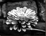 Zinnia Stretched Canvas Print by Harold Silverman