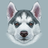 Illustrative Portrait of Husky Puppy. Cute Portrait of Young Grey Bi-Colour Dog with Brown Eyes. Prints by  ant_art19