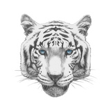 Original Drawing of Tiger. Isolated on White Background Poster by  victoria_novak