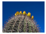 Barrel Cactus Poster by Murray Bolesta