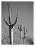 Spent Saguaro 11 Posters by Murray Bolesta