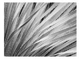 Agave Abstract 3 B+W Print by Murray Bolesta