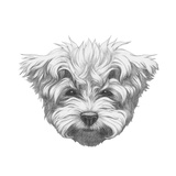 Original Drawing of Maltese Poodle. Isolated on White Background. Prints by  victoria_novak