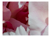 Peony Diptych Prints by Rose Anne Colavito
