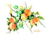 Apricots Print by Suren Nersisyan