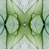 White Caladium 3 Poster by Rose Anne Colavito