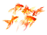 Goldfish5 Posters by Suren Nersisyan