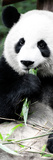 China 10MKm2 Collection - Giant Panda Fotodruck von Philippe Hugonnard