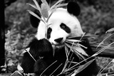 China 10MKm2 Collection - Giant Panda Photographic Print by Philippe Hugonnard