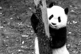 China 10MKm2 Collection - Giant Panda Baby Photographic Print by Philippe Hugonnard