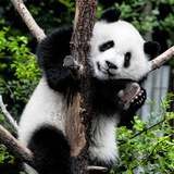 China 10MKm2 Collection - Giant Panda Baby Fotografiskt tryck av Philippe Hugonnard