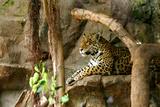 Jaguar, Loro Parque, Tenerife, Canary Islands, 2007 Photographic Print by Peter Thompson
