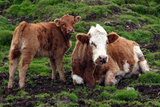 Cattle, Skye, Scotland Photographic Print by Peter Thompson