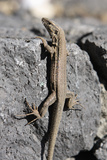 Lizard, La Palma, Canary Islands, Spain, 2009 Photographic Print by Peter Thompson