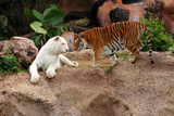 Tigers, Loro Parque, Tenerife, Canary Islands, 2007 Photographic Print by Peter Thompson