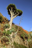 Dragon Tree, Anaga Mountains, Tenerife, 2007 Photographic Print by Peter Thompson