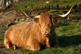 Highland Cattle, Scotland Photographic Print by Peter Thompson