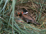 Male Reed Bunting at a Nest Photographic Print by CM Dixon