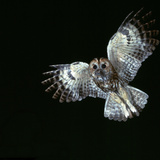 Tawny Owl in Flight Reproduction photographique par CM Dixon
