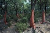Cork Oak Trees Photographic Print by CM Dixon