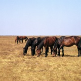 Herd of Horses Grazing on the Hortobagy Plaza Photographic Print by CM Dixon