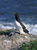 Razorbill Photographic Print by CM Dixon