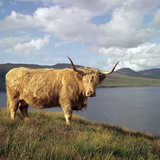 Highland Cows on the Isle of Skye Reproduction photographique par CM Dixon