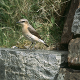 Wheatear Reproduction photographique par CM Dixon