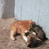 Kittens in Heracleion, Crete Reproduction photographique par CM Dixon