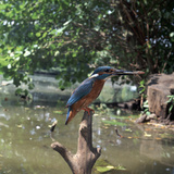 Kingfisher Photographic Print by CM Dixon