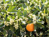 Blossom and Fruit on an Orange Tree, Majorca, Spain Photographic Print by Peter Thompson